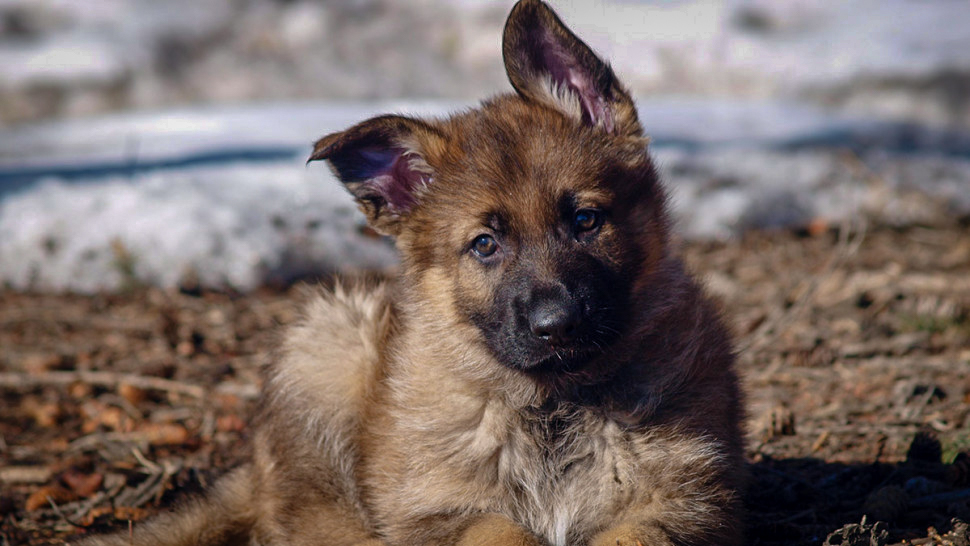 Link the puppy, as named by Yellowknife's Jake Saunders, is shown in an RCMP handout image
