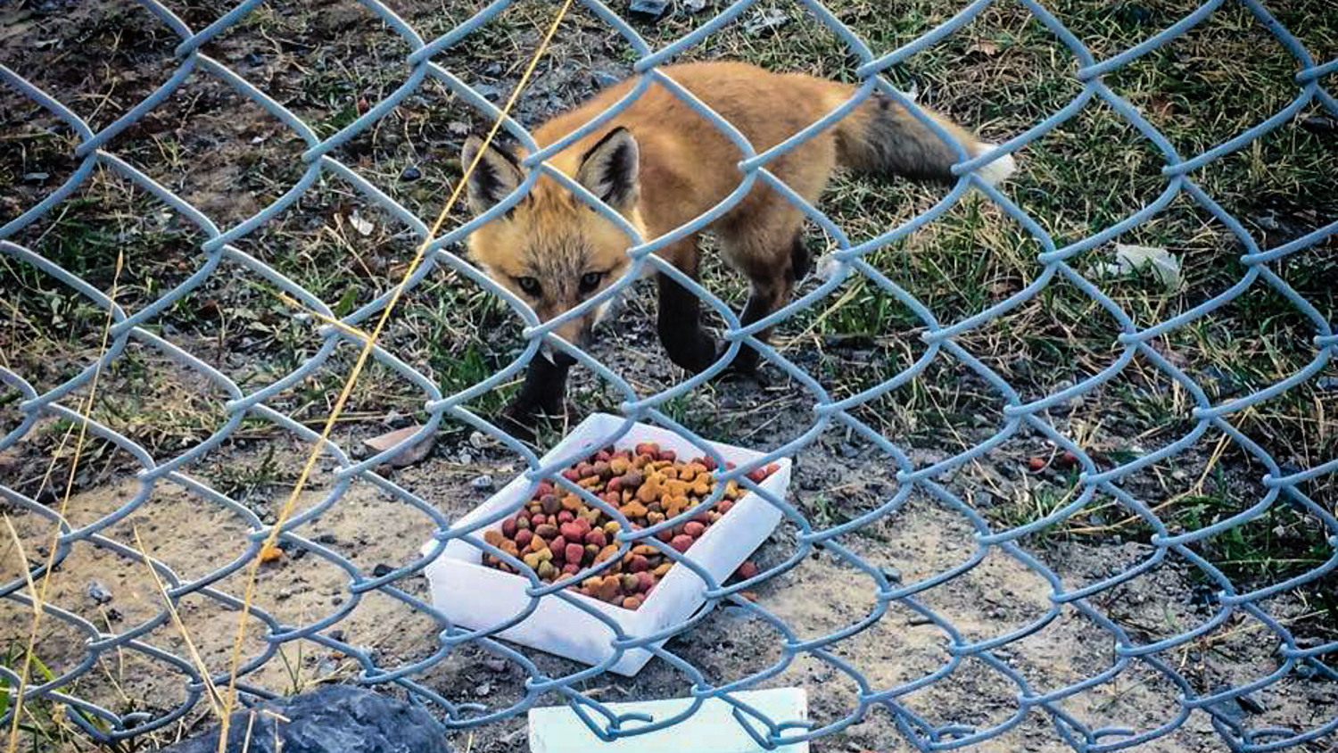 A photo of a fox approaching dog food left out in Yellowknife, posted to Facebook by Marcus Jackson