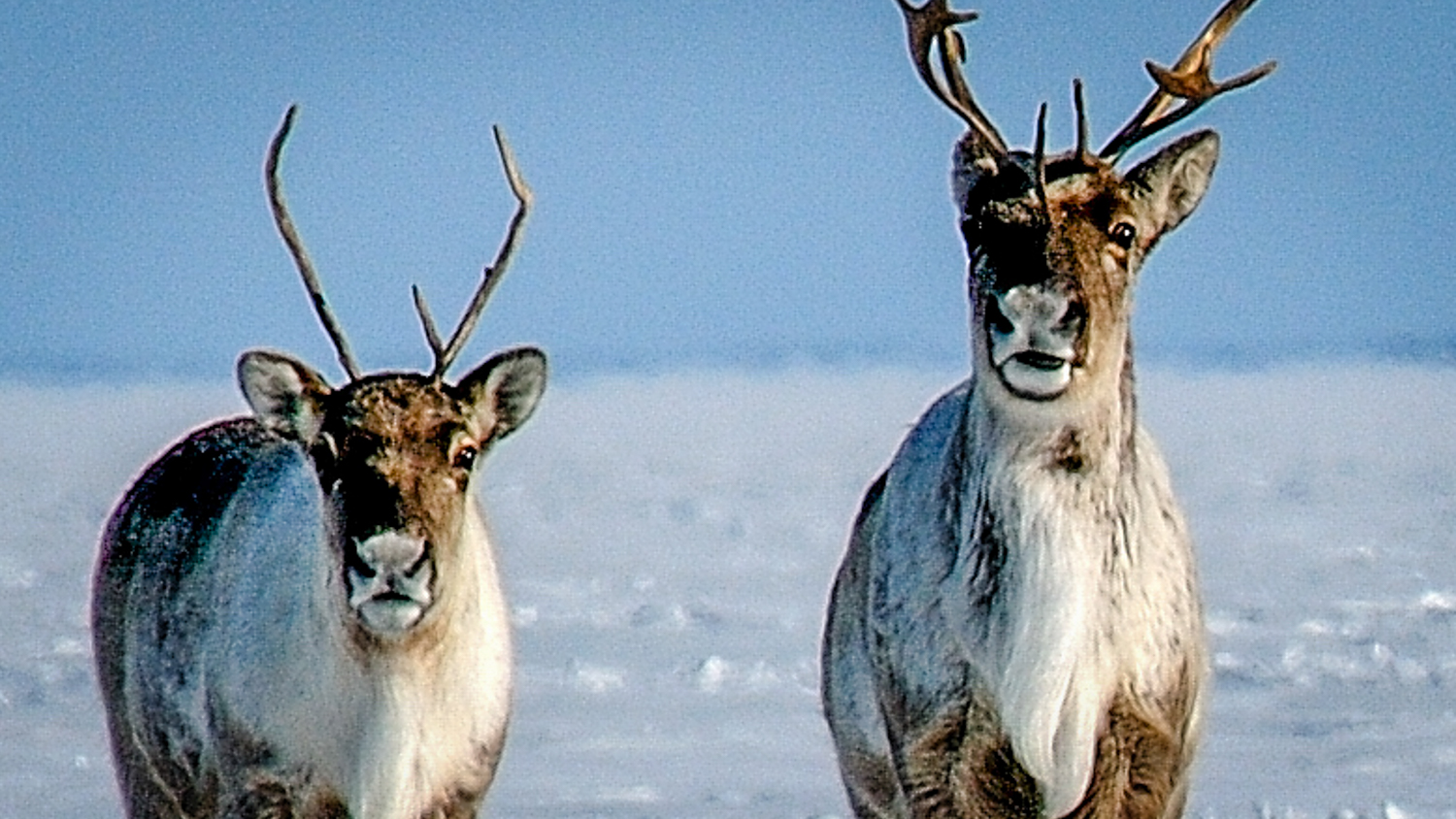 A territorial government-issued photograph of barren-ground caribou