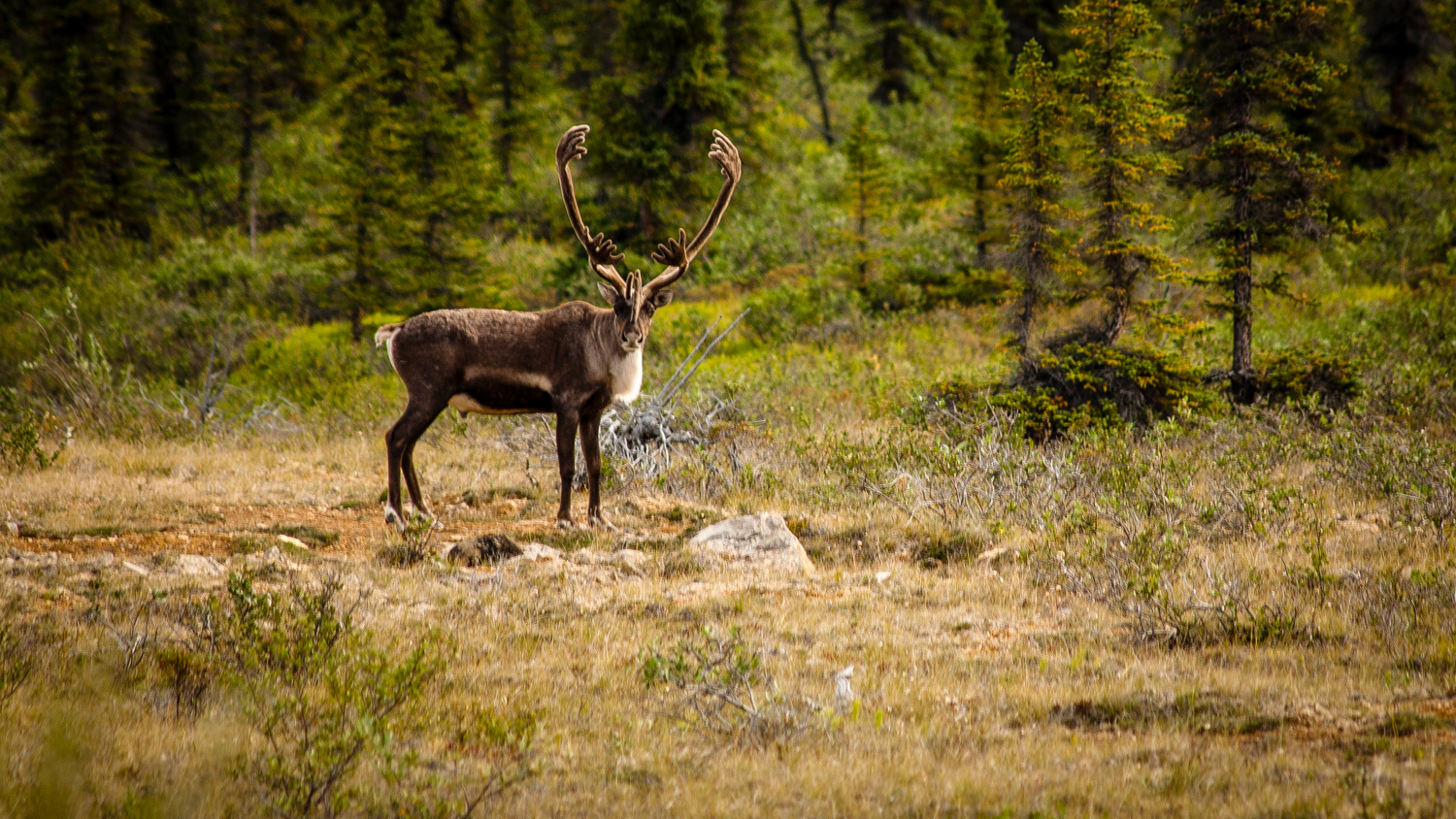 'Well? Go on, pick it up.' A caribou pictured along the NWT's Horton River - Tanja Zogg-NWT Tourism