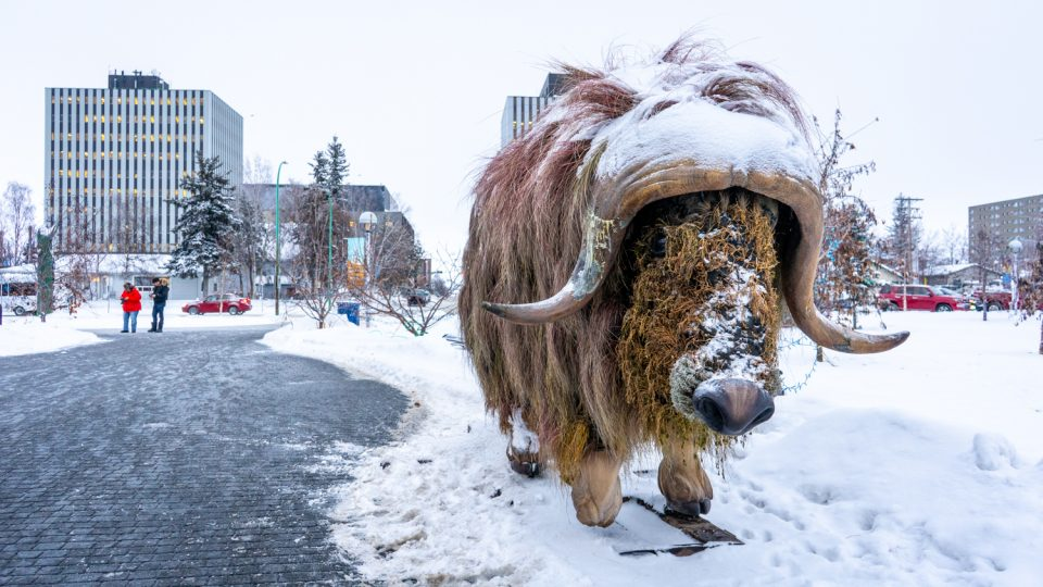 A muskox gifted to the City of Yellowknife sits outside City Hall