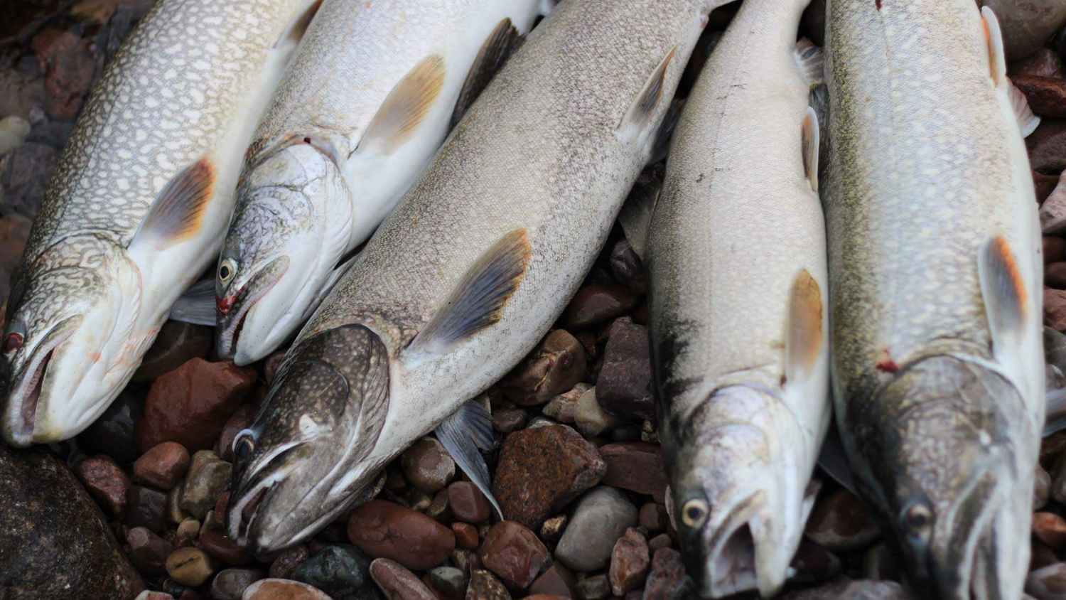 A file photo of trout caught in Łutselk'e