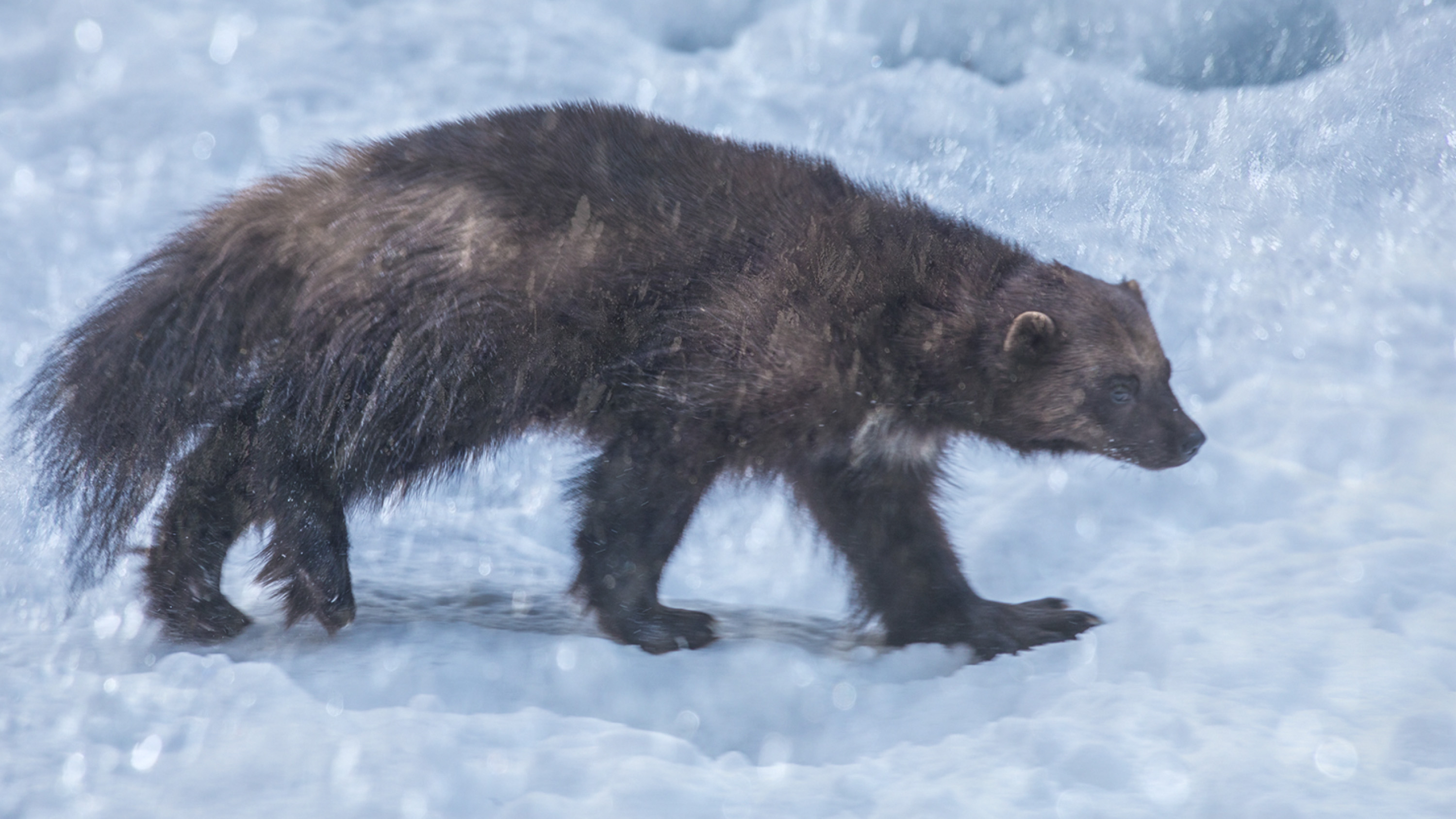 An artist's impression of a wolverine in a blizzard