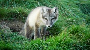 An image of a fox shared by the NWT's Department of Environment and Natural Resources in June 2019