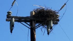 An osprey nest on the Bluefish Line in June 2019.
