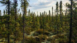 A forest inside the Edéhzhíe Protected Area