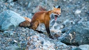One of the Northwest Territories' foxes