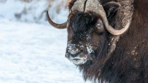A file image of a muskox