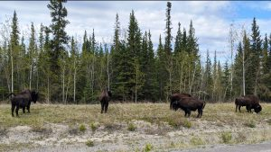 A file photo of bison along Highway 3 in June 2020. Andrew Goodwin/Cabin Radio