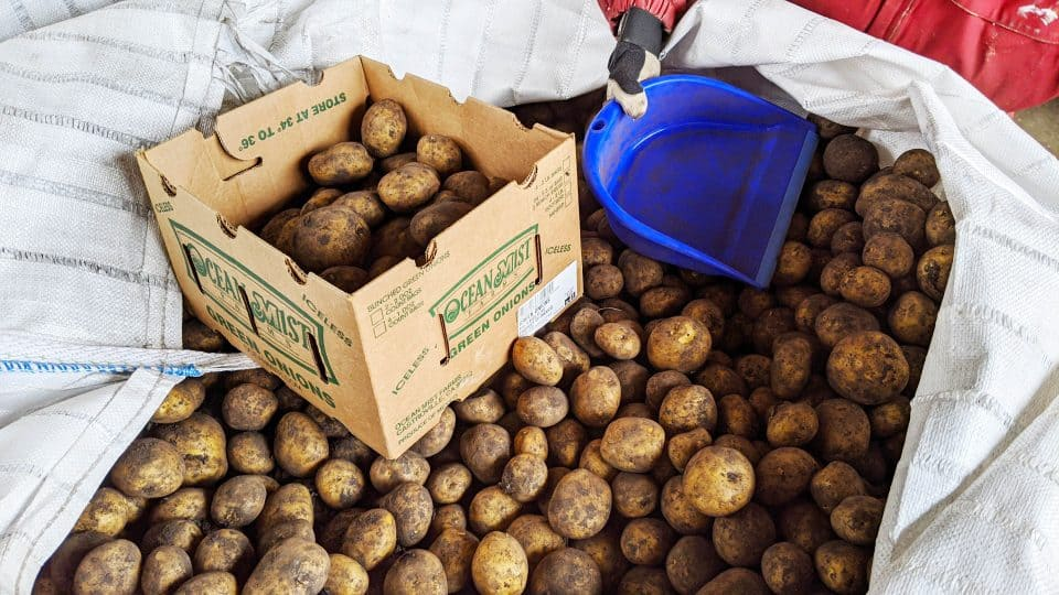 A file photo of potatoes in June 2020. Sarah Pruys/Cabin Radio