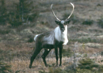 Northern mountain caribou