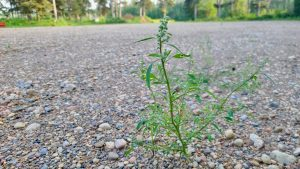 A weed grows at the proposed site of a new mini golf complex in Fort Simpson