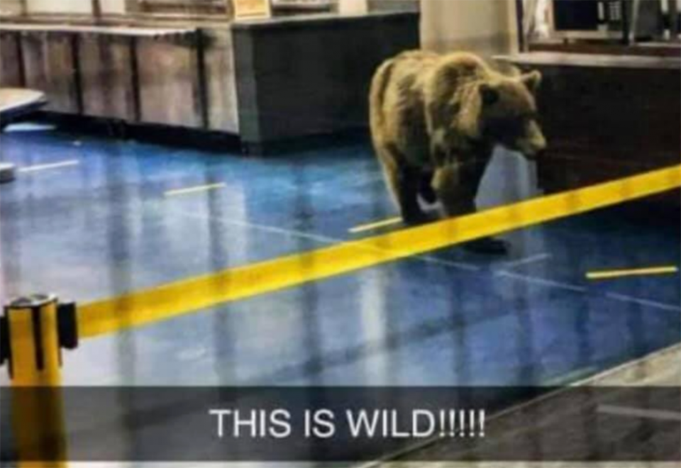 An image of a bear in the Diavik diamond mine's cafeteria, as shared to Facebook by the N'Dilo Memes page.