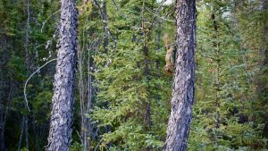 A squirrel descends a tree outside Yellowknife on September 6, 2020