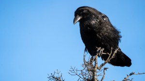 A raven on the Ingraham Trail in October 2020