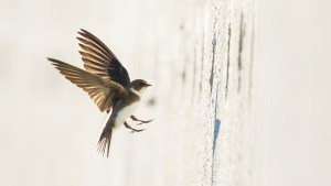 A bank swallow builds a nest
