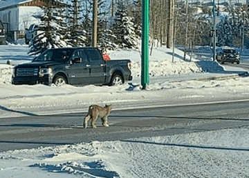 A lynx in downtown Yellowknife is seen in a submitted photo