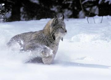 A Canadian lynx