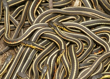 Red-sided garter snakes in Manitoba