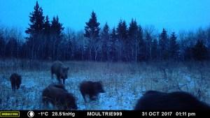 "A hidden trail camera captures a ""sounder"" or group of wild pigs roaming Saskatchewan"