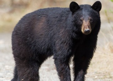 A black bear and two cubs were spotted in Yellowknife near Kam Lake
