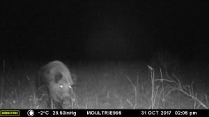 A hidden trail camera capture a solitary wild pig