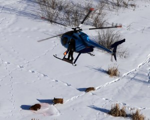 Researchers take an aerial survey of wild pigs