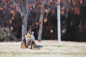 A fox in Yellowknife in June 2021