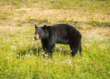 A black bear along Highway 5 in June 2021