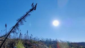 Burned trees in a burn area near Reid Lake in August 2021