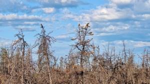 An owl atop a tree in a burn area near Reid Lake in August 2021