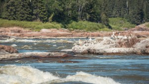 Pelicans at the Mountain Portage rapids during Slave River Paddlefest in August 2021. Sarah Pruys/Cabin Radio