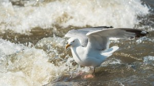 A seagull at the Mountain Portage rapids during Slave River Paddlefest in August 2021. Sarah Pruys/Cabin Radio