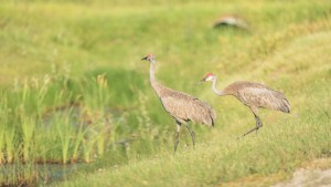 Sandhill cranes on the side of Highway 5 just outside of Fort Smith in August 2021. Sarah Pruys/Cabin Radio