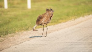 A sandhill crane on the side of Highway 5 just outside of Fort Smith in August 2021. Sarah Pruys/Cabin Radio