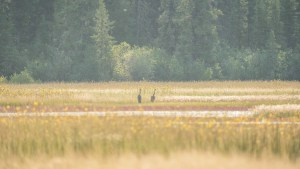 Sandhill cranes on the Salt Plains in Wood Buffalo National Park in August 2021. Sarah Pruys/Cabin Radio