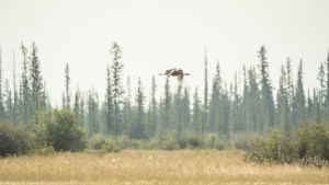 A sandhill crane flying over the Salt Plains in Wood Buffalo National Park in August 2021. Sarah Pruys/Cabin Radio
