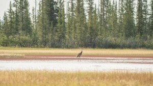 A sandhill crane on the Salt Plains in Wood Buffalo National Park in August 2021. Sarah Pruys/Cabin Radio