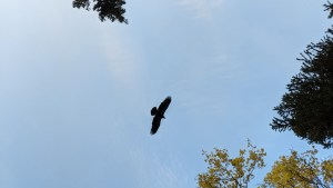 An young eagle flies over Pickerel Lake in September 2021. Sarah Pruys/Cabin Radio