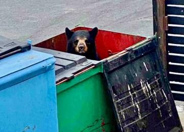 A bear in a dumpster near Yellowknife's Copperhouse restaurant