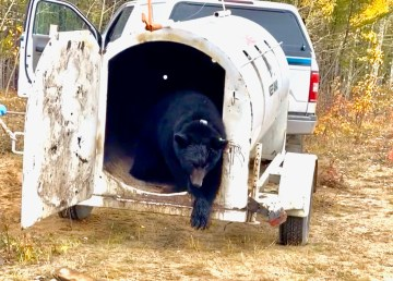 A bear is released after being relocated by the NWT government