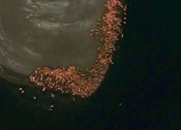 A satellite view of walruses